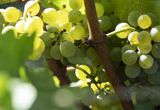 Ингредиенты из винограда и винограда