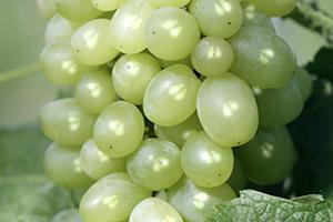 полифенолы виноградных косточек